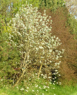 whitebeam tree in early spring